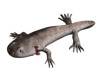 Labyrinthodontia - Reconstruction of Branchiosaurus, a temnospondyl tadpole or paedomorph form with external gills.