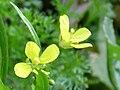 Brassica repanda subsp. blancoana Enfoque 2010-1-16 DehesaBoyaldePuertollano.jpg