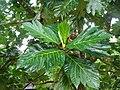 Breadfruit artocarpus altilis (3591096448).jpg