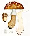 Bresadola - Amanita rubescens.png