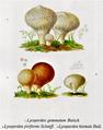 Bresadola - Lycoperdon, diverse specii.png