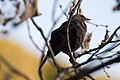 Brewer's Blackbird female, El Portal, near Yosemite 5625656134.jpg