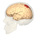 Brodmann area7 - lateral view.png