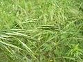 Bromus arvensis inflorescence (02).jpg