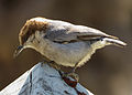 Brown-headed Nuthatch Greenville County, South Carolina 2.jpg