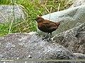Brown Dipper (Cinclus pallasii) (28097428172).jpg