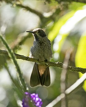 Brown Violet-ear (Colibri delphinae) (19605768193).jpg
