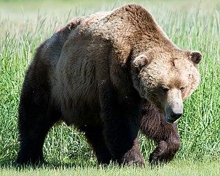 Alaska Peninsula brown bear subspecies of mammal