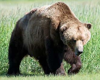 California grizzly bear - A Kodiak bear (Ursus arctos middendorffi), is very similar physiologically to the California grizzly, despite the pronounced humpback.