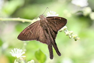 <i>Urbanus</i> (butterfly) genus of insects