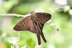 240px brown longtail (urbanus procne) (2)