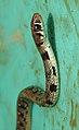 Buff-striped Keelback Amphiesma stolatum by Dr. Raju Kasambe DSCN7460 (13).jpg