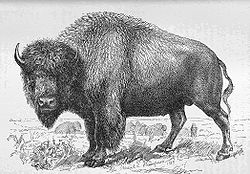 A bull bison, illustrated in The Extermination of the American Bison.