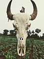 Bull skull.jpg