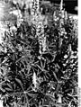 Bundesarchiv Bild 135-S-06-07-01, Tibetexpedition, Lupinen.jpg