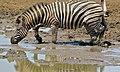 Burchell's Zebra (Equus quagga burchellii) (6829073531).jpg