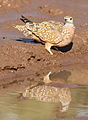 Burchell's sandgrouse, Pterocles burchelli, at Mapungubwe National Park, Limpopo, South Africa (17791110400).jpg