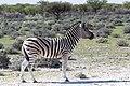 Burchell's zebra (Equus quagga burchellii)-2259 - Flickr - Ragnhild & Neil Crawford.jpg