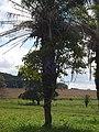 """Buritana - Parasita """"abraçando"""" coqueiro (clique na foto) - panoramio.jpg"""
