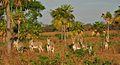 Burros salvajes, Los Llanos, Guárico.JPG