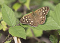 Butterfly Speckled Wood - Pararge aegeria 05.jpg