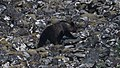 C13I8250 Brown bear.jpg