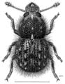 COLE Anthribidae Xenanthribus hirsutus m.png