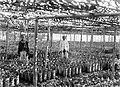 COLLECTIE TROPENMUSEUM Het cacao-kweekhuis (pépinière) van onderneming Getas Midden-Java TMnr 10012243.jpg