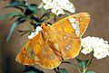 CSIRO ScienceImage 1045 Chaetocneme beata Hesperiidae.jpg