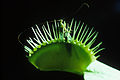 CSIRO ScienceImage 1766 Venus Fly Trap.jpg