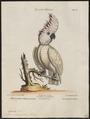 Cacatua molluccensis - 1700-1880 - Print - Iconographia Zoologica - Special Collections University of Amsterdam - UBA01 IZ18600003.tif