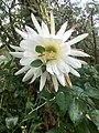 Cactus flower 2.jpg