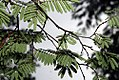 Caesalpinia coriaria 10zz.jpg