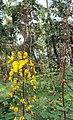 Caesalpinia mimosoides 11.JPG