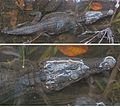 Caiman crocodilus - Flickr - Dick Culbert (1).jpg