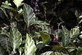 Calathea louisae 0zz.jpg