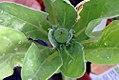 Calendula officinalis Kablouna 0zz.jpg