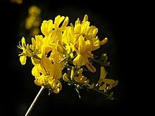Calicotome spinosa (цветы) .jpg