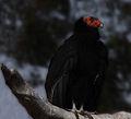 California Condor (4232236198).jpg