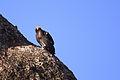 California Condor ^25 - Flickr - Joe Parks.jpg