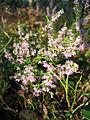 Calluna vulgaris Острівський зак-к.jpg