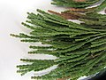 Calocedrus decurrens (Torr.) Florin (AM AK326951-4).jpg