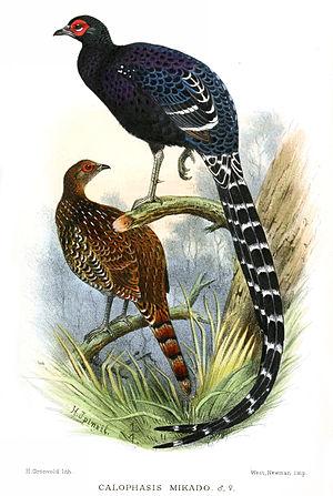 Mikado pheasant - Image: Calophasis Mikado Gronvold