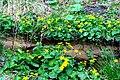 Caltha palustris ENBLA09.jpg