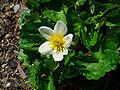 Caltha palustris alba 03.JPG