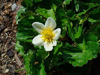 Caltha palustris - Image: Caltha palustris alba 03