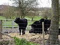 Calves at Manor Farm, Broughton - geograph.org.uk - 151950.jpg