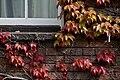 Cambridge - Japanese Creeper - 1320.jpg