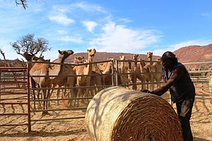 Australian feral camel - Camel muster on the APY Lands, South Australia in 2013
