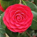 Camellia japonica-IMG 2052.jpg